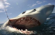 Những điều bất ngờ thú vị về cá mập - Sinh vật sát thủ không bao giờ ngủ