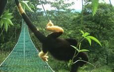 Có một loài khỉ đen toàn thân đang dần chuyển thành màu vàng và sự thật đáng buồn đằng sau đó