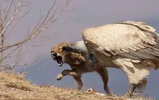 Giành giật với kền kền, chó rừng lấy được miếng ăn nhưng cái giá phải trả thì quá lớn
