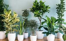 Những loại cây cảnh hút tài lộc nên trồng trong nhà để 'tiền vào như nước'