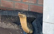 Cặp rắn hổ mang chúa nặng khoảng 18kg mỗi con sẽ được thả lên đỉnh núi để sinh sống