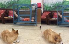 Bị cậu bé chiếm dụng căn nhà 1m2, chú chó tủi thân nằm gục trên nền nhà khiến tất cả bật cười