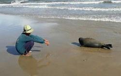 Hải cẩu lên bờ nô đùa với dân Bình Thuận