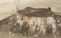 """Chặt nhầm khoảng 20 cây xanh ở Hà Nội: """"Một số cán bộ quá nóng vội đã chặt bỏ tất cả"""""""