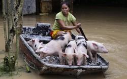 7 ngày qua ảnh: Người dân Philippines dùng thuyền sơ tán lợn khỏi vùng lũ lụt