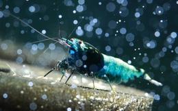 Động vật thủy sinh độc, siêu đắt đỏ của dân chơi Việt