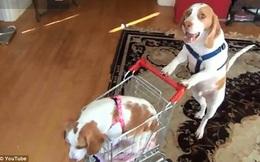 Video lạ: Chú chó đẩy xe mua hàng dẫn em đi dạo