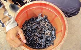 Vào rừng săn... bọ cạp về nhậu ở An Giang