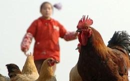 Cúm gia cầm A/H7N9 chưa xuất hiện ở Việt Nam