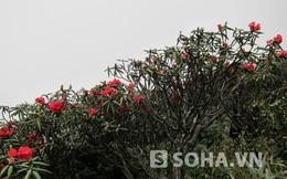 Ngắm sắc hoa đỗ quyên rực rỡ trên đỉnh Fansipan