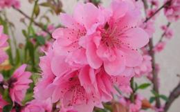 Mùa xuân hãy tận dụng các loài hoa làm thuốc trị bệnh