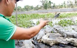 Thương lái Trung Quốc tận thu cá sấu con