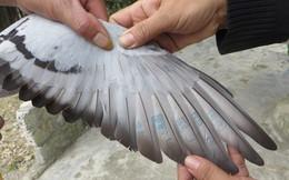Lại phát hiện chim bồ câu có ký hiệu lạ