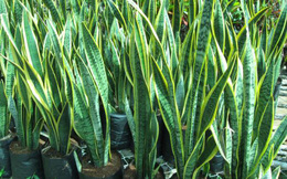 3 loại cây quen thuộc có khả năng giải độc cực tốt