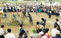 Trâu Lang Biang có vóc dáng khủng nhất Việt Nam