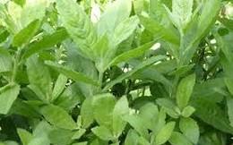 Không dùng thuốc tây, chữa khỏi bệnh trĩ nhờ 5 loại lá dễ kiếm