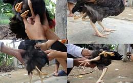 Hàng trăm người đổ xô đến xem gà có 4 chân ở Hà Tĩnh