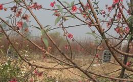Phát hoảng: Hàng nghìn gốc đào được trồng xen kẽ với các ngôi mộ