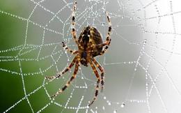 Nọc nhện hứa hẹn thuốc giảm đau mới