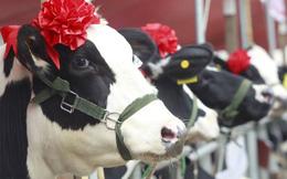 24h qua ảnh: Cuộc thi Hoa Hậu bò sữa Việt Nam trên báo nước ngoài