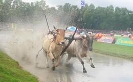 Lễ hội thiêng của người Khmer: Kỳ công nuôi bò đua