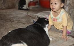 Sốt clip chú mèo béo nhất Việt Nam với vòng eo 90cm