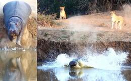 24h qua ảnh: Hã mã sợ hãi tháo chạy khỏi bầy sư tử
