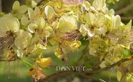 Chiêm ngưỡng cây mai trắng cổ thụ tuyệt đẹp khi trổ hoa