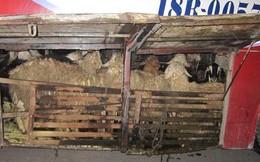 """""""Làm chuồng"""" chở dê, cừu dưới gầm xe khách"""