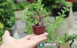 Độc đáo bonsai tí hon giá nghìn đô khiến người chơi phát sốt