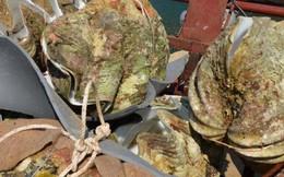 Loại trai dài đến cả mét, giá 40 triệu/con sống tại biển VN