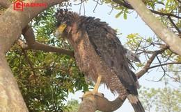 Cận cảnh chim đại bàng săn rắn độc điêu luyện