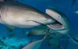 Trận huyết chiến kinh hoàng giữa Cá mập trắng và Cá voi sát thủ