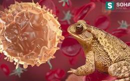 Sự thật việc dùng mật cóc chữa khỏi ung thư đang gây xôn xao