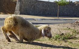 Cừu, dê gục ngã ở 'rốn hạn' Ninh Thuận