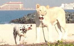 'Hết hồn' với 'mốt' nuôi thú dữ... của đại gia Ả Rập