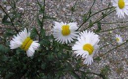 """Xuất hiện hoa cúc """"sinh đôi"""" sau thảm họa hạt nhân Fukushima"""