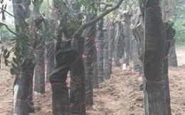 Hà Nội: Tổng kiểm tra, tiếp tục thay thế cây xanh