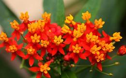 Những loài hoa cực độc có thể gây chết người tuyệt đối không trồng cảnh
