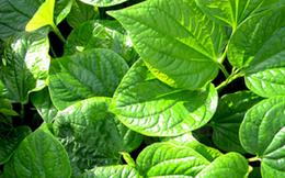 Những loại lá quen thuộc giúp trị bệnh đau xương khớp