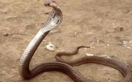 Bắt rắn hổ chúa, một người tử vong