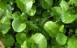 Khả năng trị nhiệt miệng siêu hiệu quả của 4 loại rau xanh
