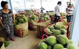 Thương lái Trung Quốc mua sầu riêng non để ngâm hóa chất?
