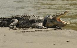24h qua ảnh: Cá sấu khổng lồ mắc kẹt đầu trong lốp xe