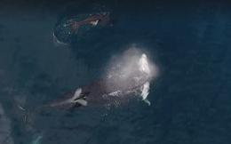 Clip: 3 cá voi sát thủ bao vây tấn công cá mập