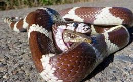 24h qua ảnh: Thằn lằn tuyệt vọng cắn rắn độc để thoát thân