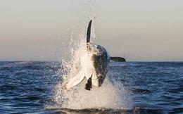 24h qua ảnh: Cá mập trắng khổng lồ phi thân nuốt trọn hải cẩu