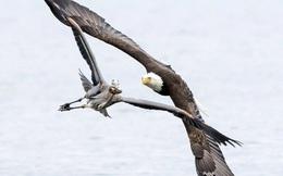 24h qua ảnh: Đại bàng và chim diệc rượt đuổi gay cấn trên không