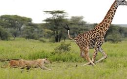 7 ngày qua ảnh: Lợi thế chân dài cứu hươu cao cổ thoát khỏi sư tử