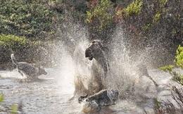 24h qua ảnh: Nai sừng tấm huyết chiến với sói để bảo vệ con